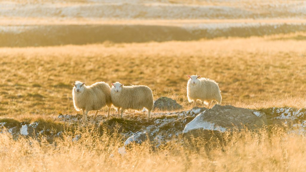 Il y a plus de moutons en Islande que d'habitants. On en dénombrerait plus d'un million.  Les fermes le long de la côte islandaise sont pleines de moutons et jusqu'en hiver, ils sont en liberté dans les hautes terres et les montagnes. Photo : Christian Dionne
