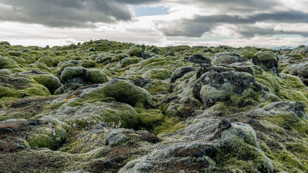 À l'ouest de Kirkjubaejarklaustur, la route 1 traverse le champ de lave Skaftarelldahraun, couvert de mousses argentées, né de la célèbre éruption de Lakagígar, avec le grand champ de lave Elðraun un peu plus loin. Il s'agirait d'une des plus grandes coulées de lave au monde (565 km2). Photo: Christian Dionne