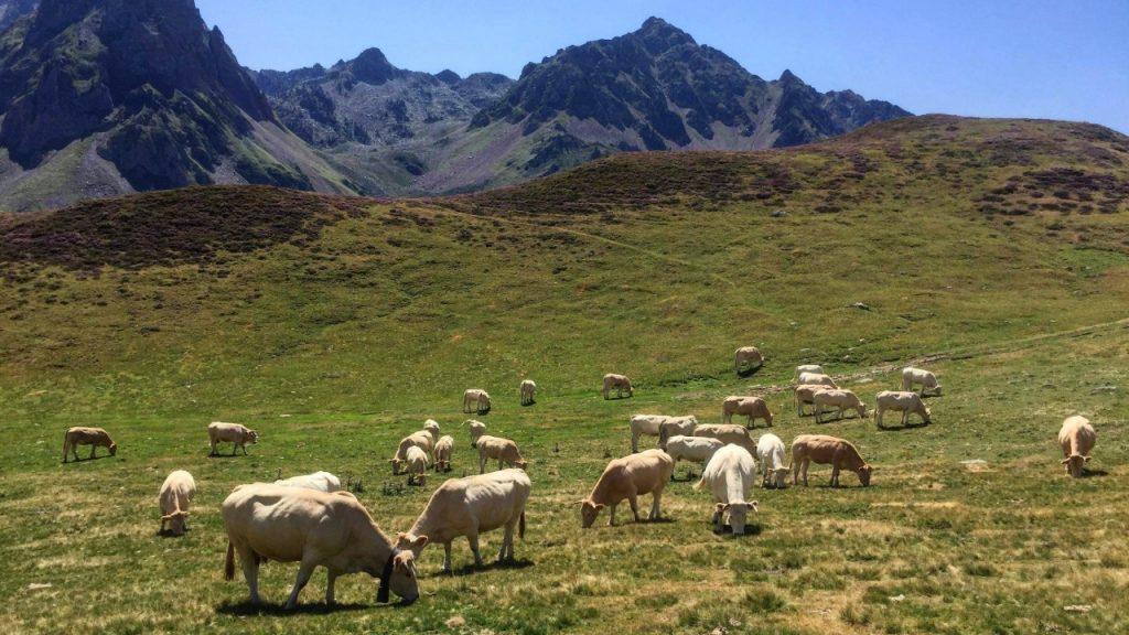 Les vaches, les chevaux et les moutons se retrouvent régulièrement sur le parcours des coureurs du GRP - Photo Annie-Claude Vaillancourt