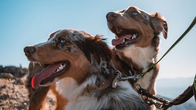 des chiens en laisse au soleil